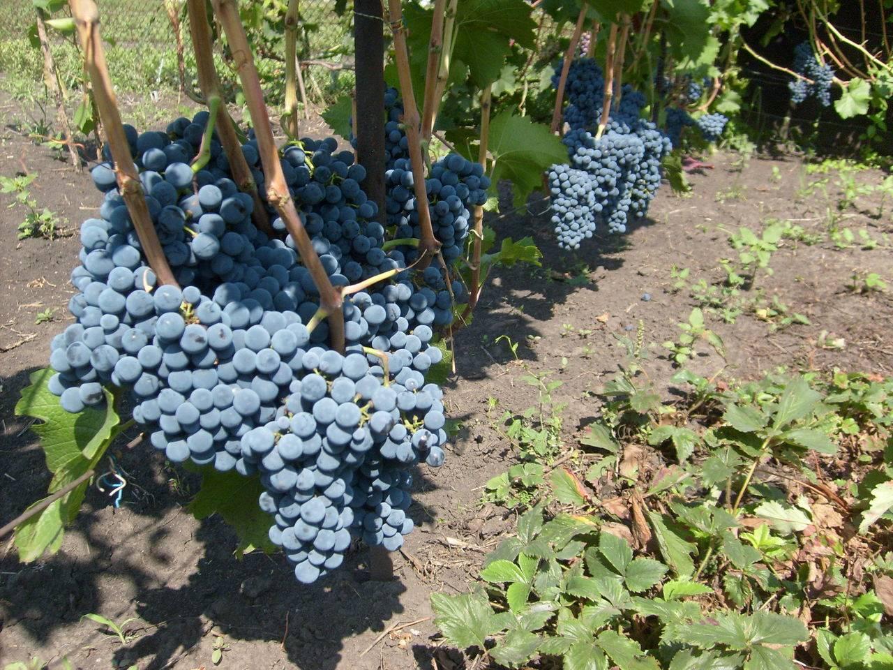 Выращивание винограда на дачном участке, особенности ухода