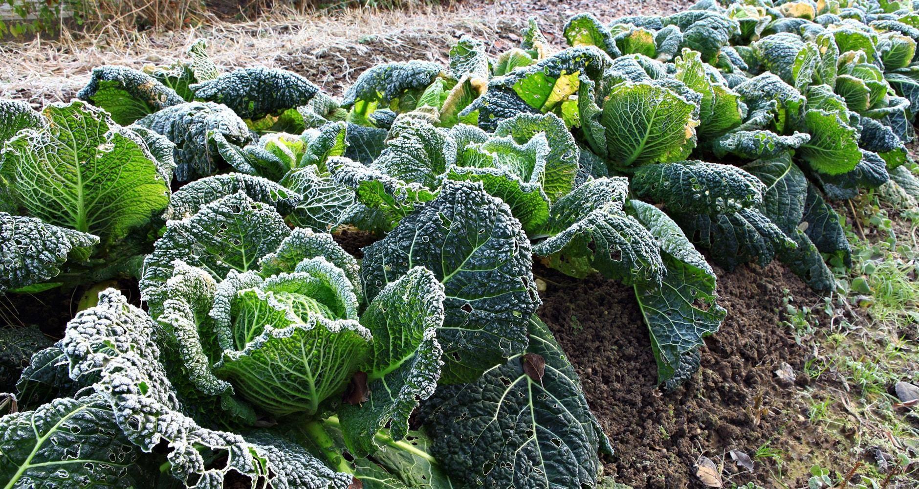 Как сажать савойскую капусту в открытом грунте: технология и агротехника, видео и фото