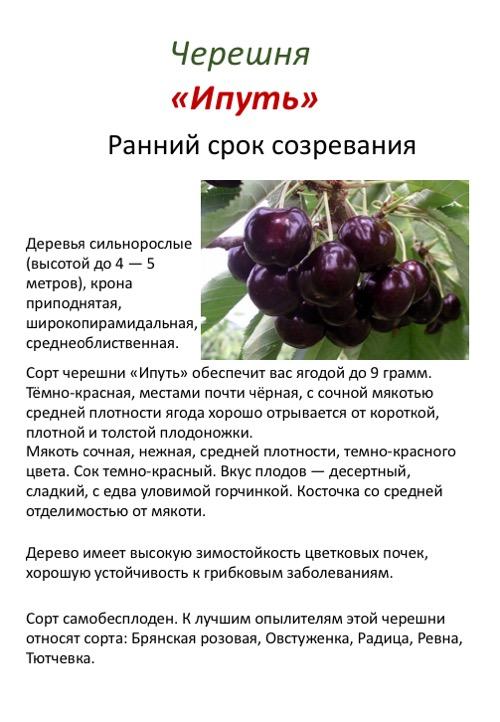 Зимостойкий сорт для российского черноземья — вишня морозовка