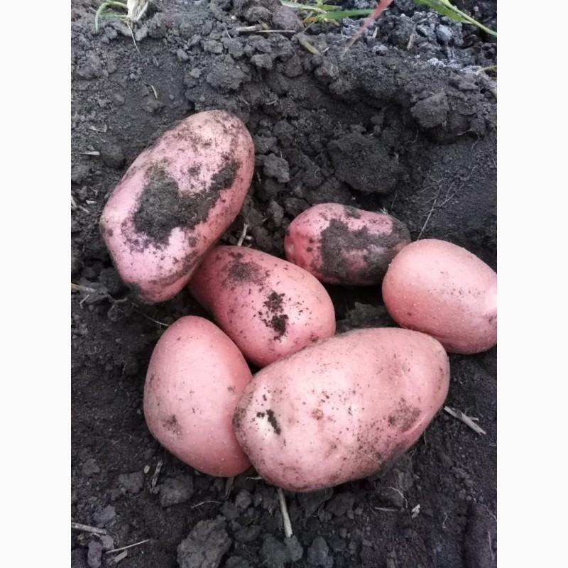 Картофель лабелла: описание сорта, фото, отзывы - растения и огород
