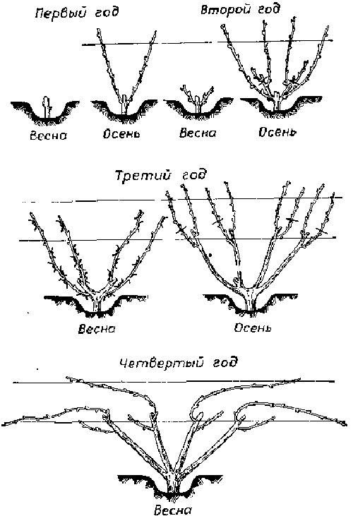 Виноград изабелла: описание сорта, уход, обрезка, видео и фото