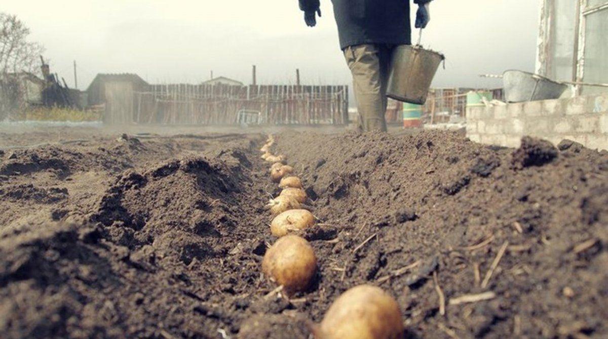 Посадка картошки в мешки и пакеты: зачем это делают и есть ли смысл попробовать и нам? на supersadovnik.ru