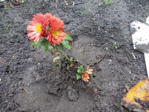 Стоит ли покупать дешево хризантемы осенью и какие сорта лучше подойдут для посадки под зиму