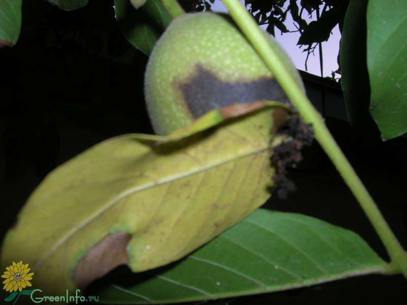 Болезни грецкого ореха, особенности лечения ореха от болезней и вредителей — пропозиция