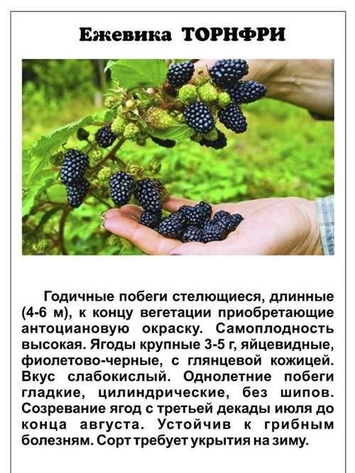 Ежевика торнфри: описание сорта, фото, выращивание и уход, отзывы