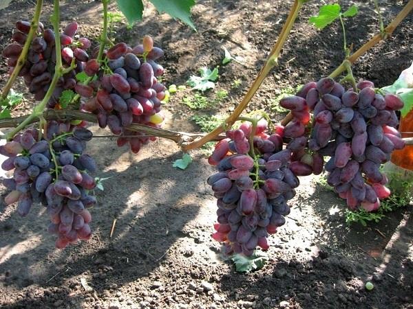 Виноград байконур: описание сорта, оурожайность, фото, отзывы