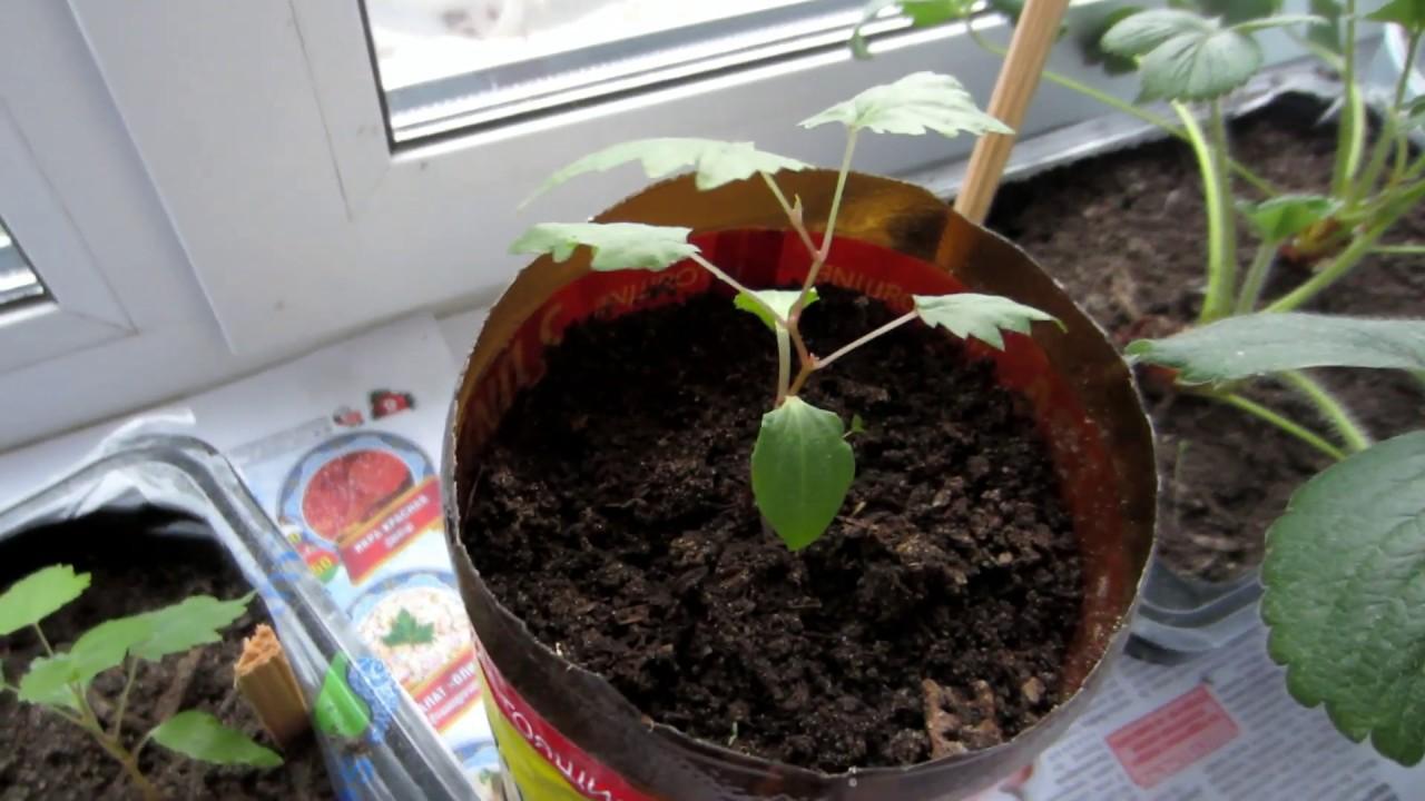 Виноград из косточки: как вырастить в домашних условиях, будет ли плодоносить