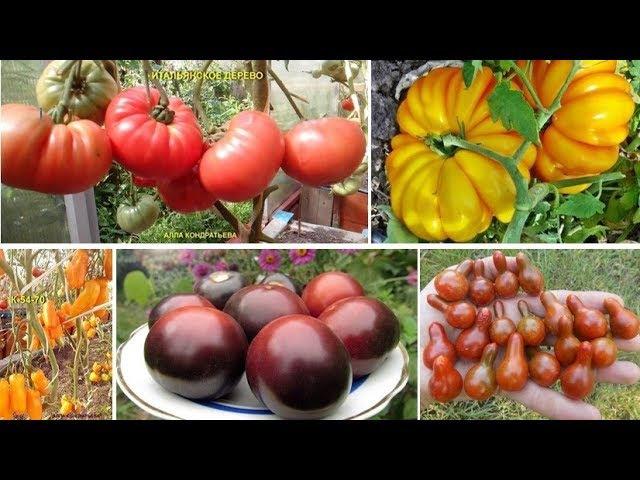 Новые сорта томатов на 2021 год - выбираем лучшее!   красивый дом и сад