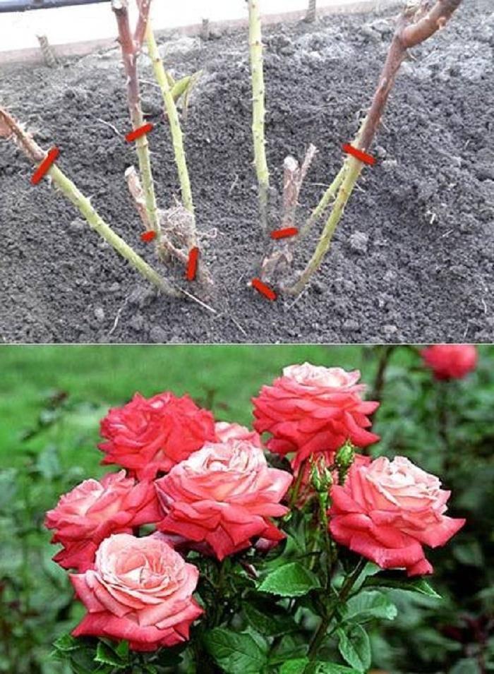 Секреты разведения роз сорта флорибунда (видео советы)