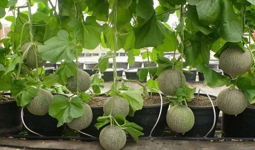 Выращивание дыни в открытом грунте черноземья: лучшие сорта, посадка семян и рекомендации по уходу