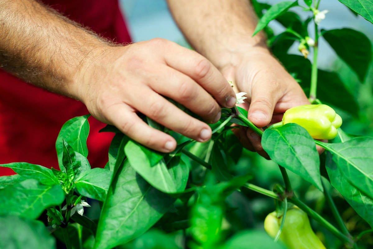 У сладкого перца желтеют листья: что делать и как исправить ситуацию