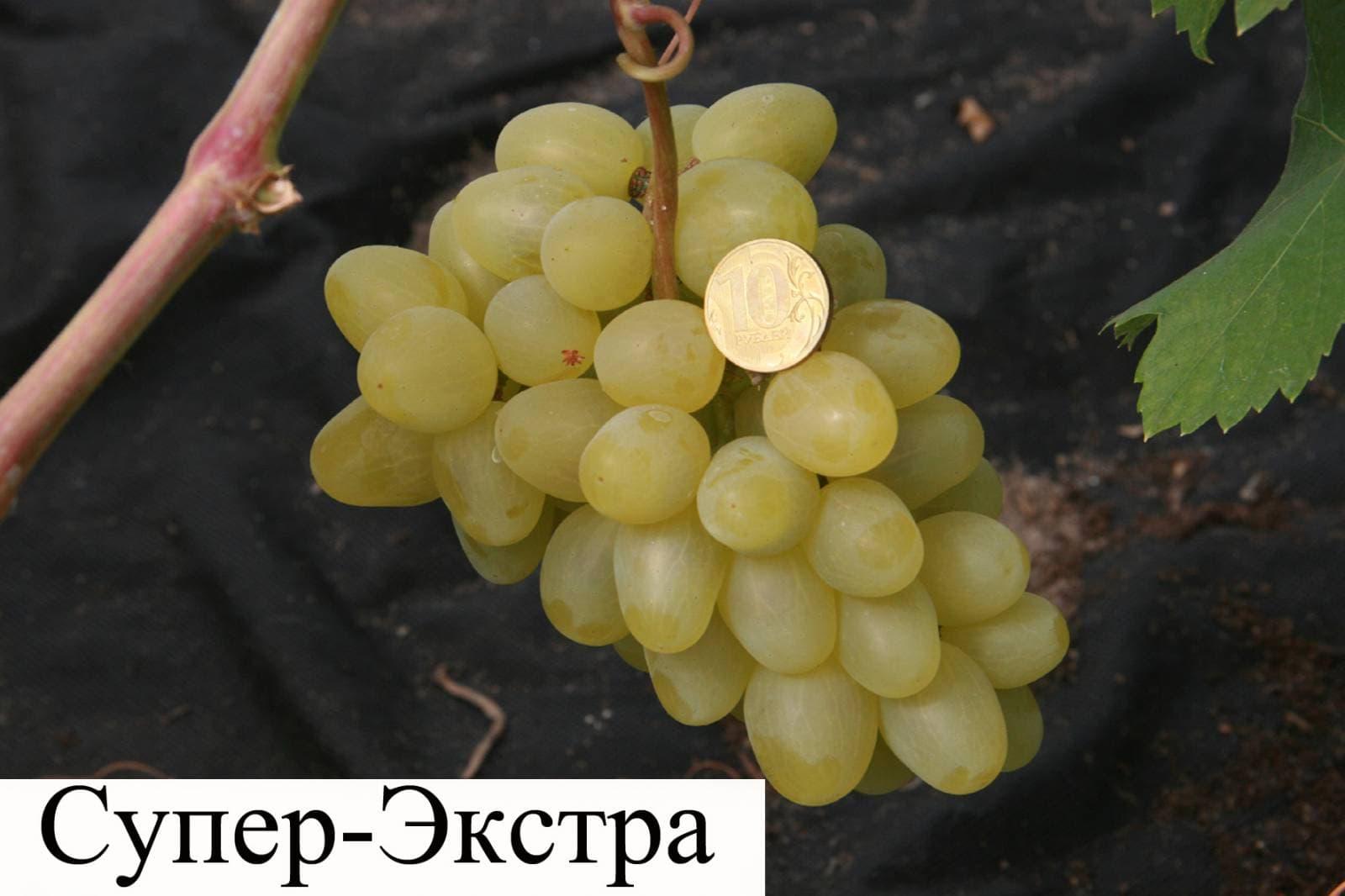 Виноград супер экстра: как вырастить на своем участке, отзывы