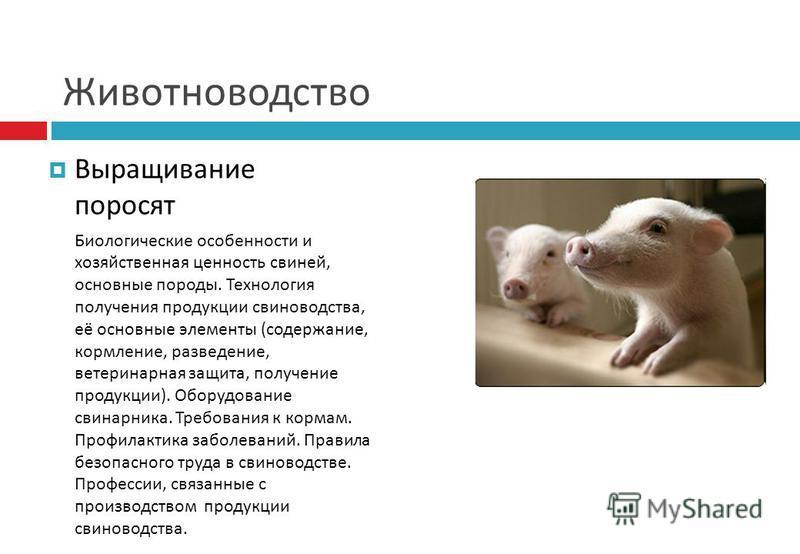 Разведение свиней:  для начинающих в домашних условиях