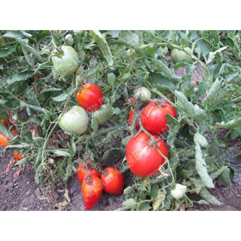 Томат дебют f1: описание раннего низкорослого сорта и отзывы огородников о выращивании