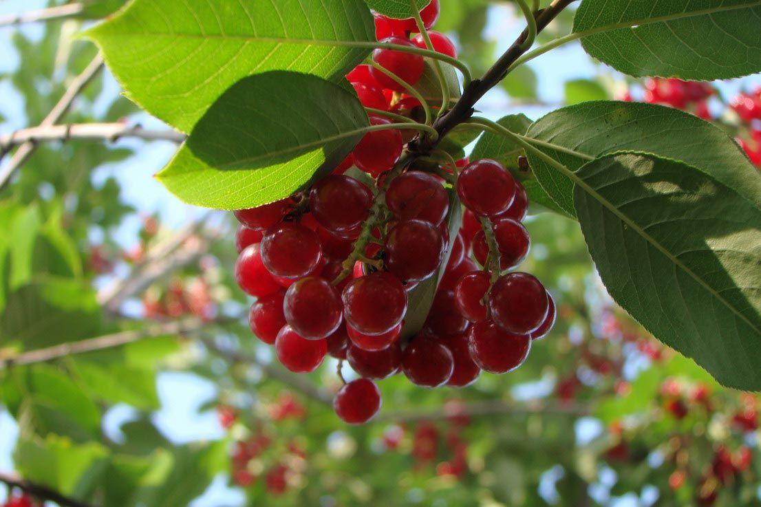 ✅ о гибриде вишни и черемухи (церепадус): как можно скрестить и привить - tehnomir32.ru