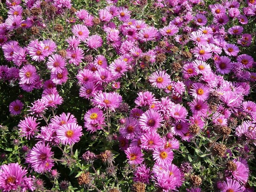 Астра кустарниковая (48 фото): обзор многолетних кустовых сортов астр «дженни», «старлайт» и других травянистых растений для открытого грунта