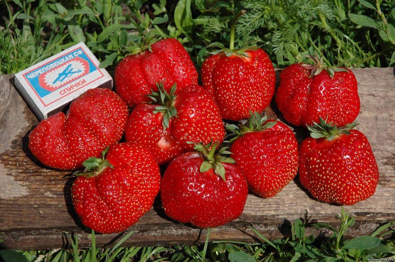 Клубника гигантелла - урожайность, сорта, описание сорта, размеры и свойства (120 фото)