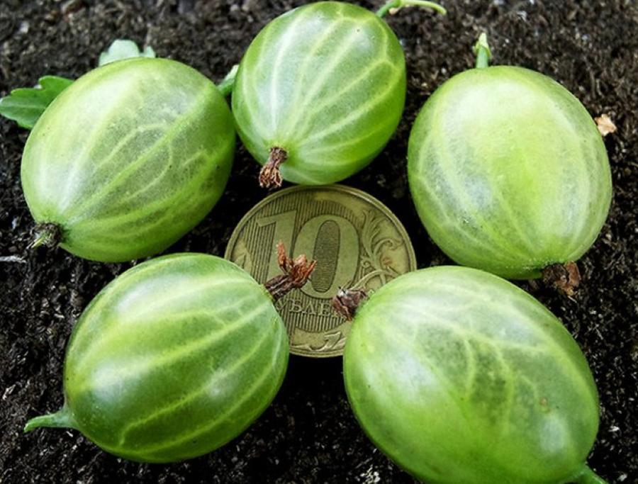 Описание сорта крыжовника малахит: уход за растением после сбора урожая