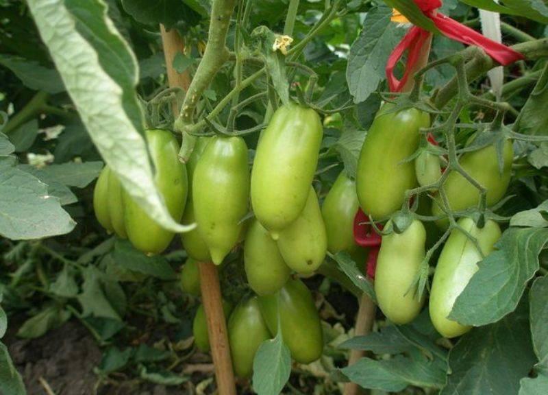 Томат каспар: описание сорта и урожайность