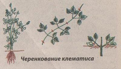 Клематис в открытом грунте — посадка и уход