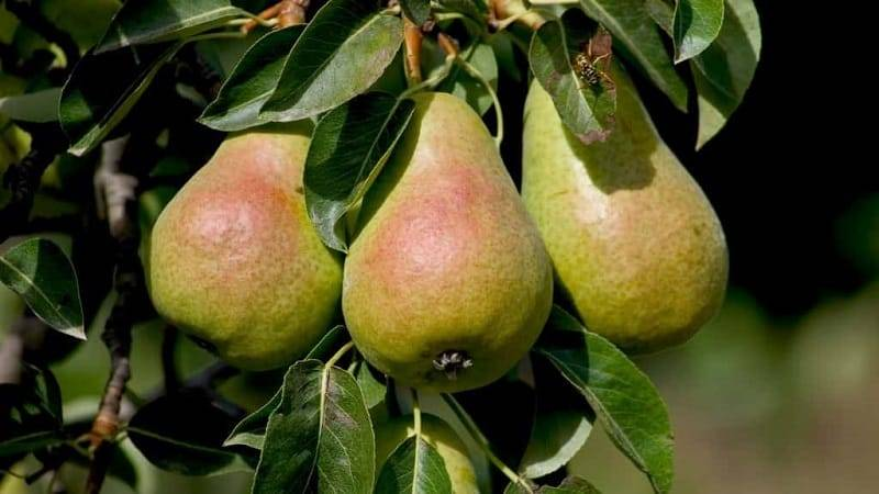 Груша рогнеда: описание сорта, фото плодов, рекомендации по выращиванию selo.guru — интернет портал о сельском хозяйстве