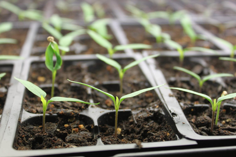 Причины почему плохо растет картофель: эффективное решение проблемы