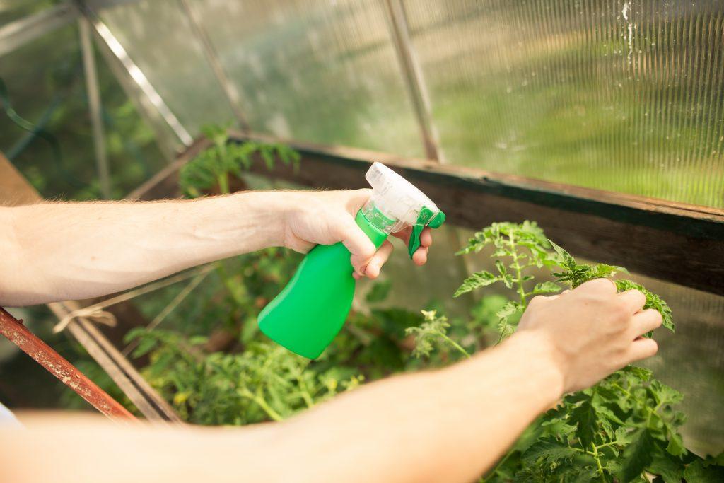 Выращивание винограда в теплице
