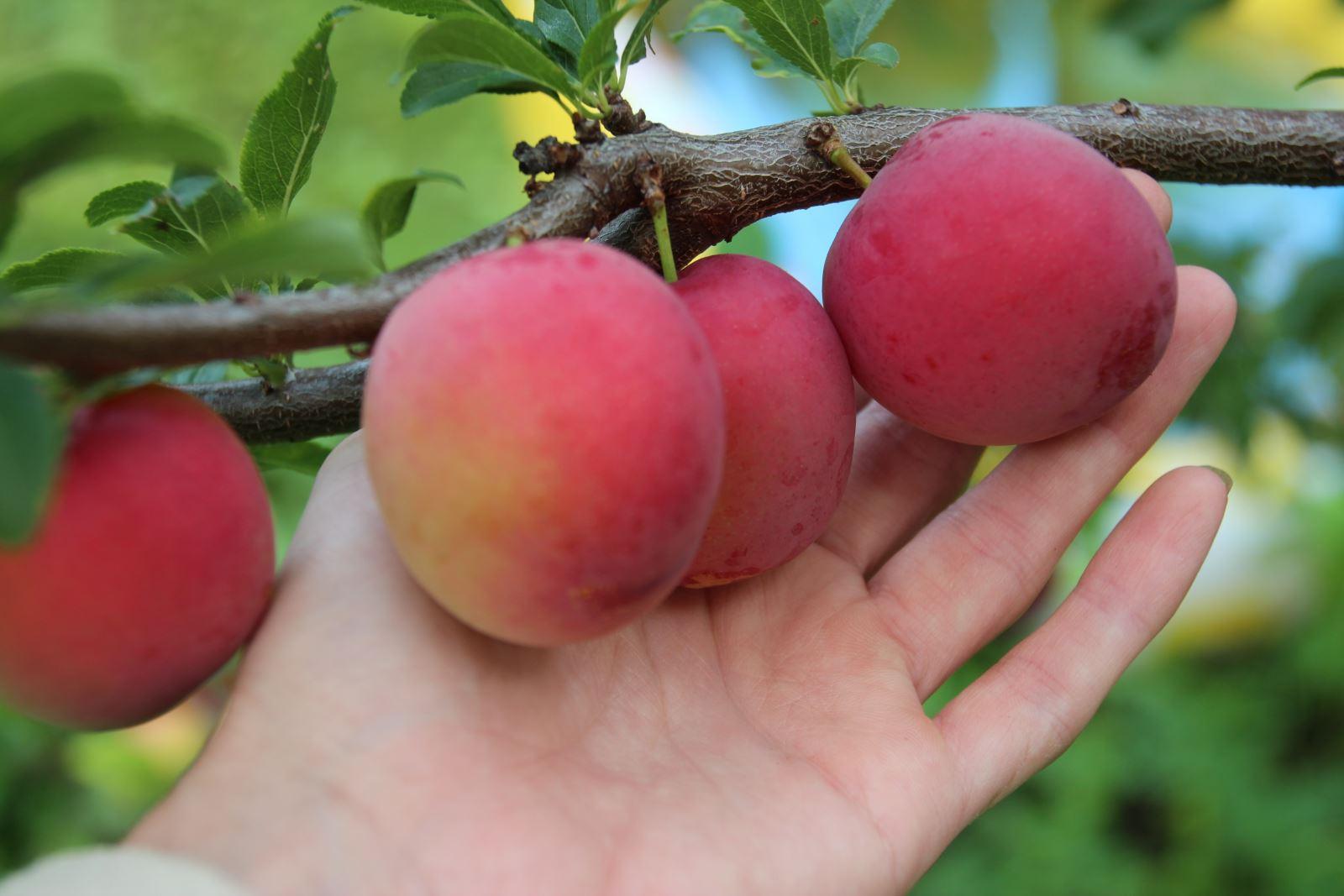 Описание и тонкости выращивания сорта сливы Заречная ранняя