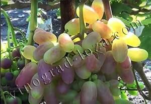 """Виноград """"юлиан"""": описание сорта, фото, посадка и уход"""