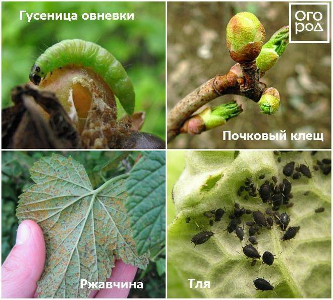 14 болезней смородины и борьба с ними, чем опрыскивать красную и черную от белого налета на листьях