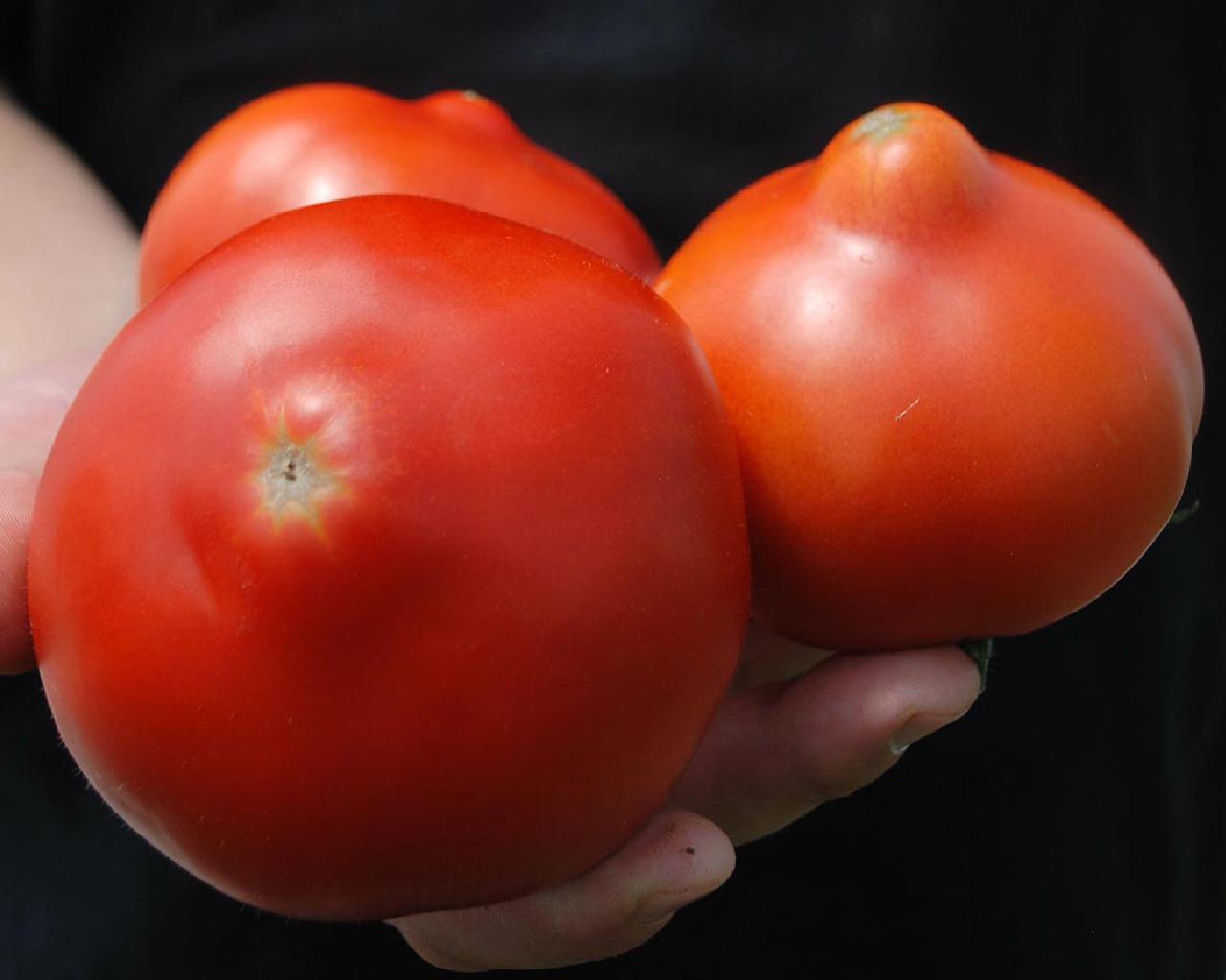 Чем вам могут запомниться помидоры сорта «шедевр» и как получить достойный урожай