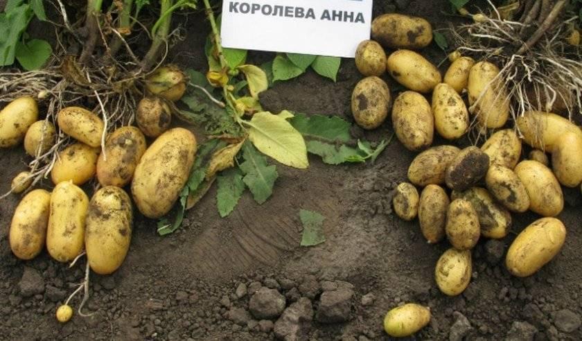 Картофель луговской – описание сорта, фото, отзывы