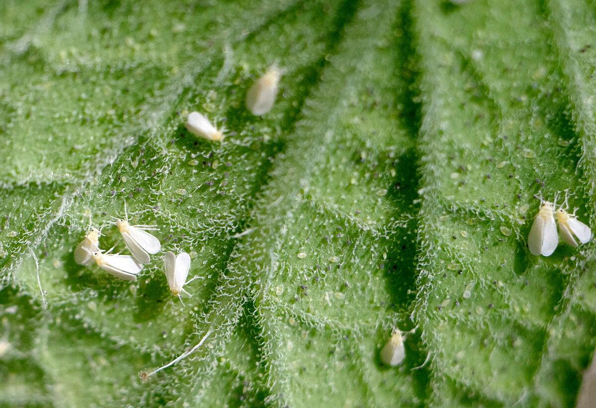 Портит белокрылка листочки на огурцах – как спасти растение?