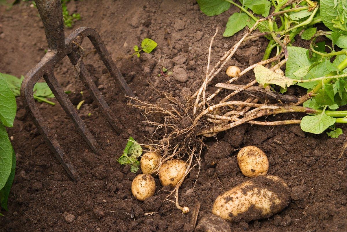 Уход за картофелем после всходов, почему не всходит, почему всходит неравномерно