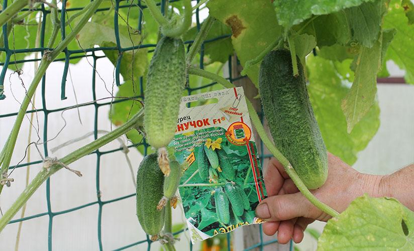 Огурцы внучок f1: отзывы, фото, описание сорта, особенности выращивания, посадки и ухода, урожайность