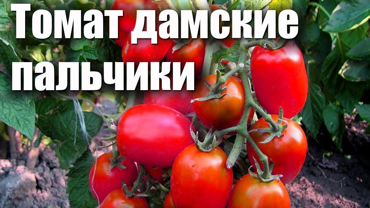 Описание сорта помидоров Дамские пальчики, особенности выращивания и ухода
