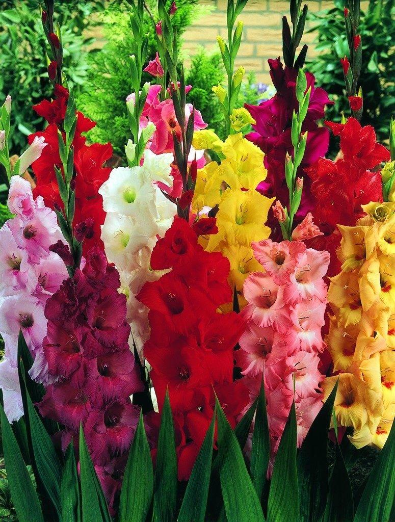 Цветок, символизирующий благородство – описание сортов гладиолусов