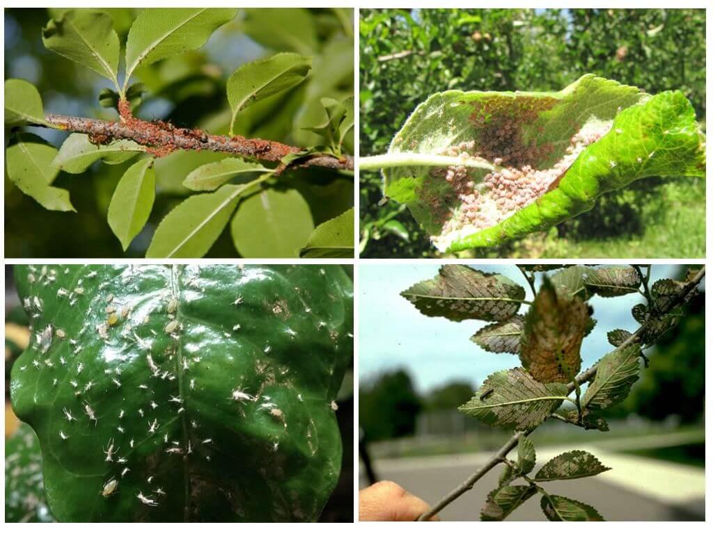 Плодожорка на яблоне: методы борьбы, когда и чем опрыскивать деревья