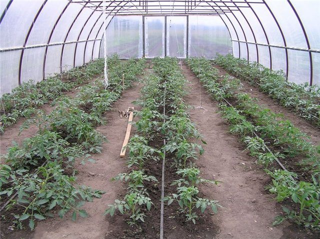 Посадка помидор в теплице из поликарбоната: этапы и специфика