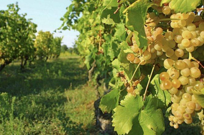 Виноград бианка: описание сорта