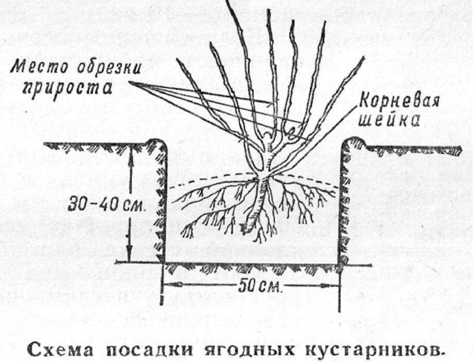 Как размножить крыжовник