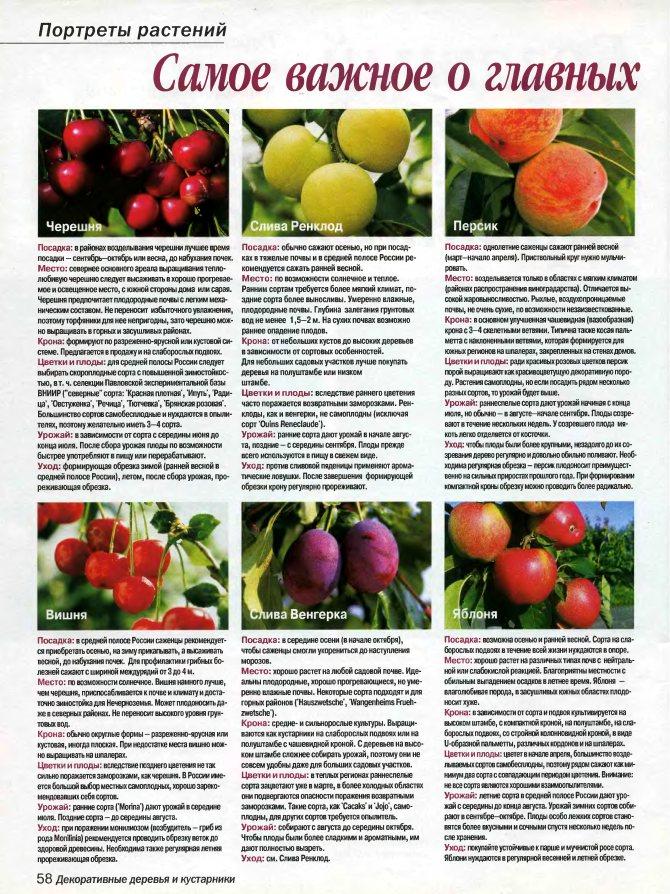 Раннеспелый сорт — яблоня «аркадик»