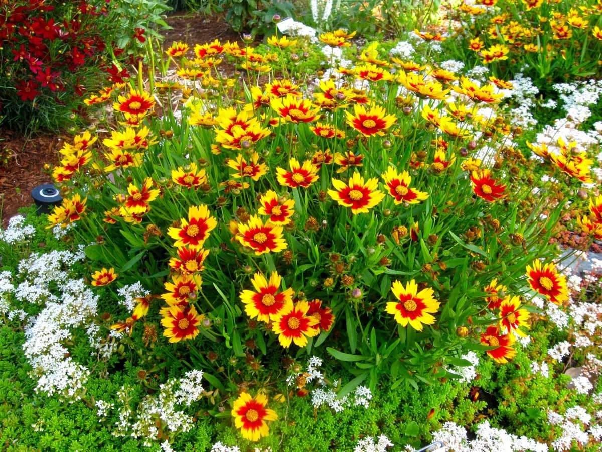 Многолетние цветы для урала, цветущие всё лето: выбор неприхотливых растений для садов с холодным климатом