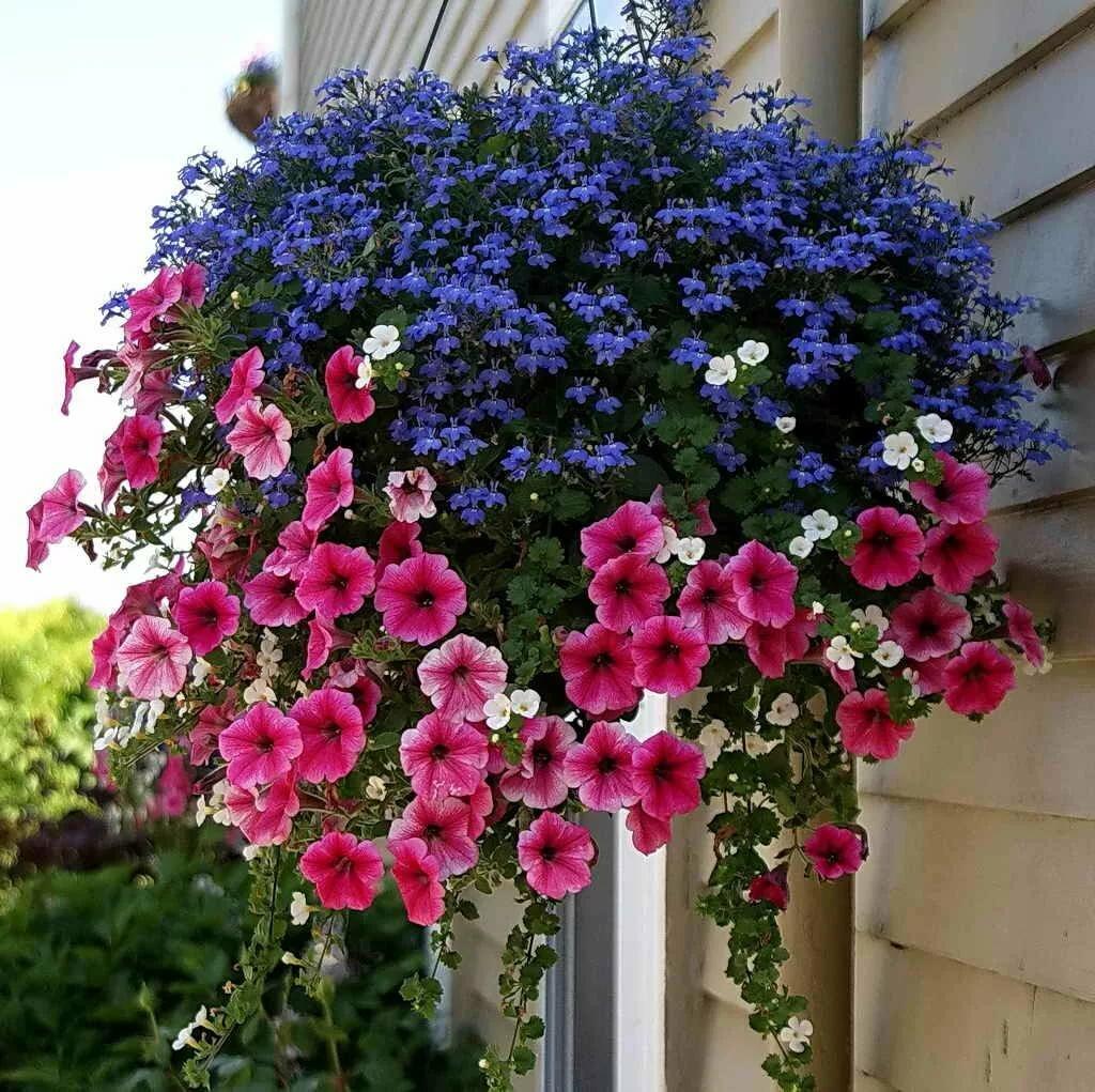 Ампельные цветы для сада, ампельные многолетники, цветущие все лето