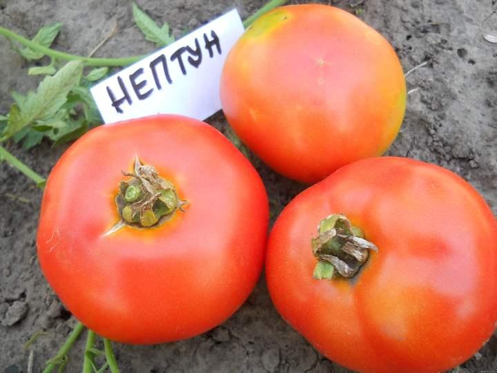 Томат тигренок - характеристика и описание сорта, фото, урожайность, отзывы овощеводов