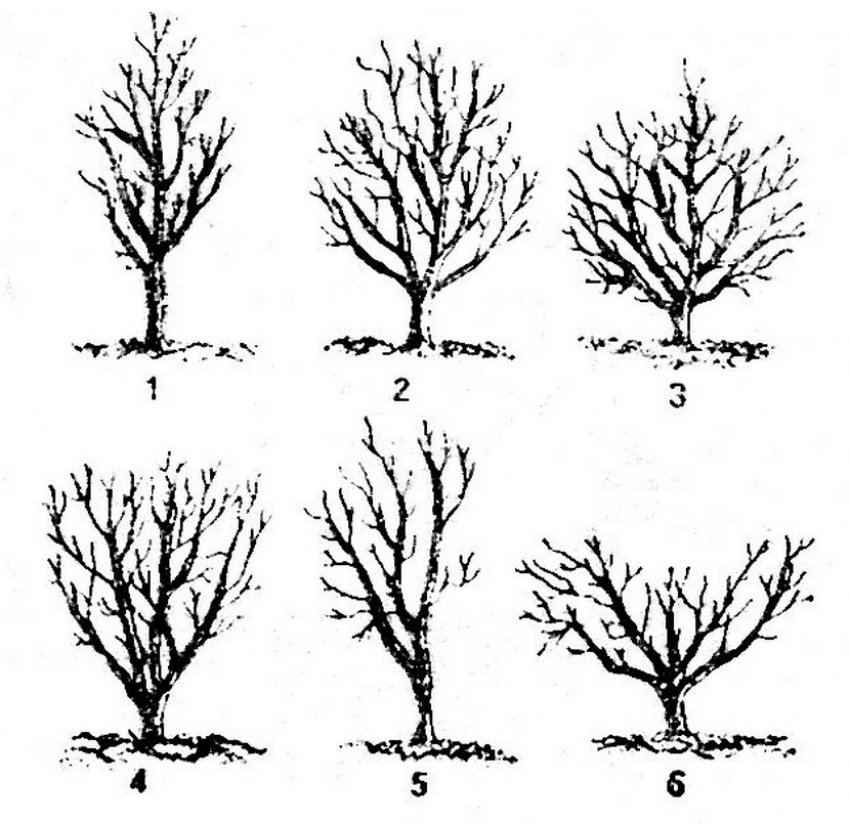 Обрезка старой яблони для начинающих: схемы и инструкции