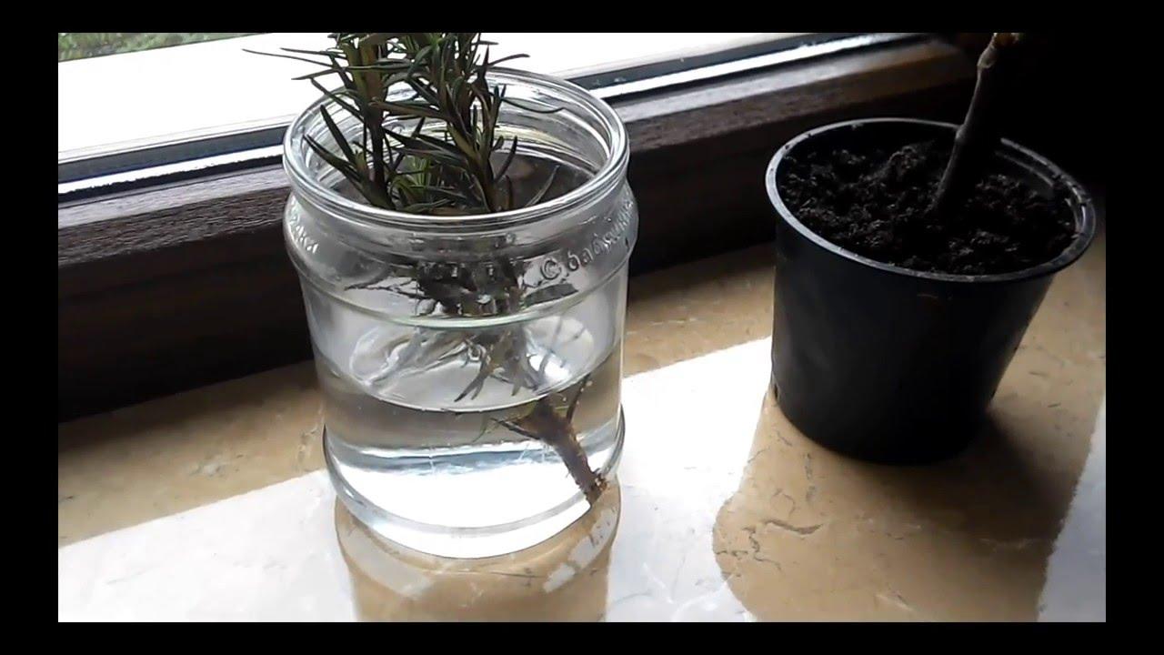 Розмарин: выращивание в домашних условиях, применение