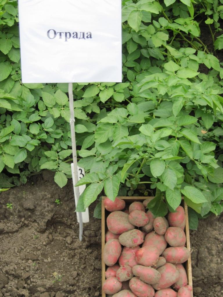 Картофель «вектор»: описание сорта, характеристики, фото картошки и уход русский фермер
