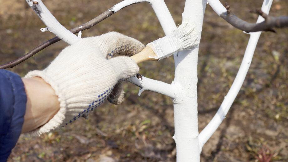 Осенняя побелка плодовых деревьев. составы, сроки, советы. фото — ботаничка.ru