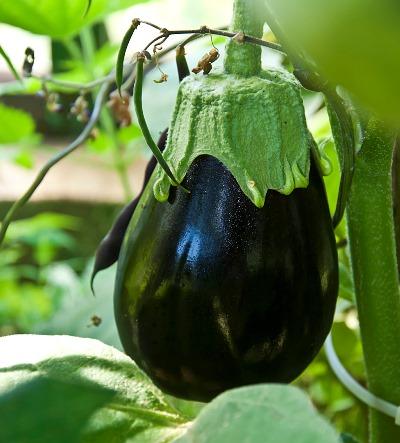 Выращивание в подмосковье баклажана щелкунчик: отзывы и секреты садоводов